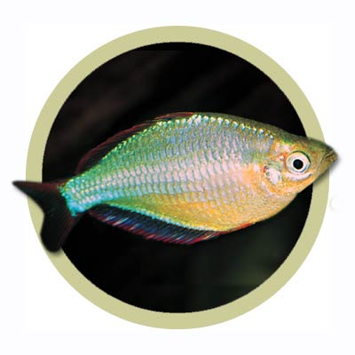 Neon dwarf rainbow fish for Dwarf rainbow fish