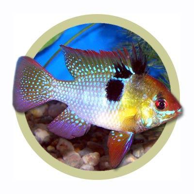 German Ram Fish for Pinterest