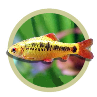 Gold barb for Gold barb fish
