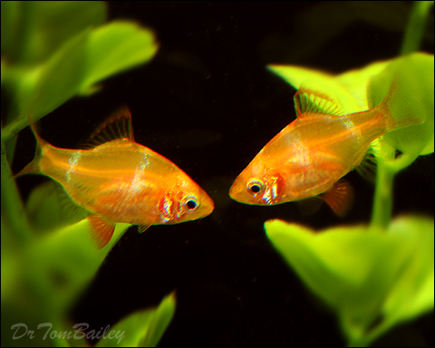 Gold tiger barb for Tiger barb fish