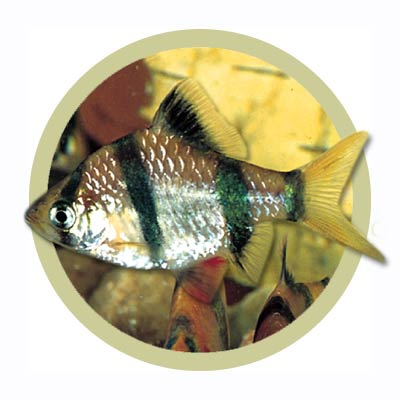 Tiger Barb Fish on Tropical Fish    Barbs    Tiger Barb   Tropical Fish By Post Co Uk